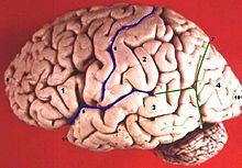 220px-Human_brain_lateral_view_description.jpg